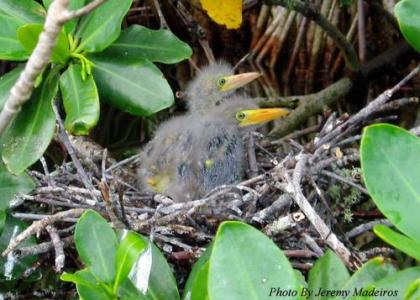 Bermuda Beasts: 7 Facts About The Green Heron