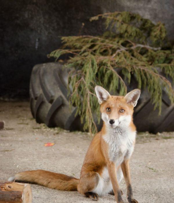 Gwel-an-Mor-wildlife-fox
