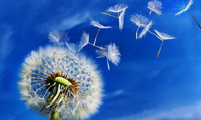 The Best Advice So Far - someday soon - dandelion seeds blowing away