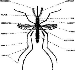 Mosquito Larvae Diagram