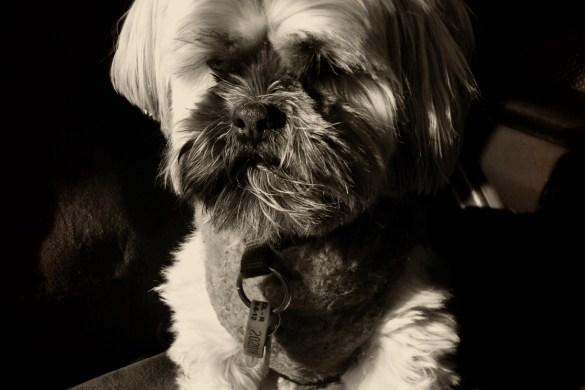 Shi-Tzu Dash, dog