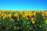 sunflowerrs-1%283%29.jpg