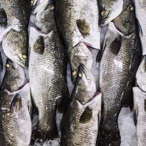 Australis Barramundi_Group_Of_Fish_Featured_Image
