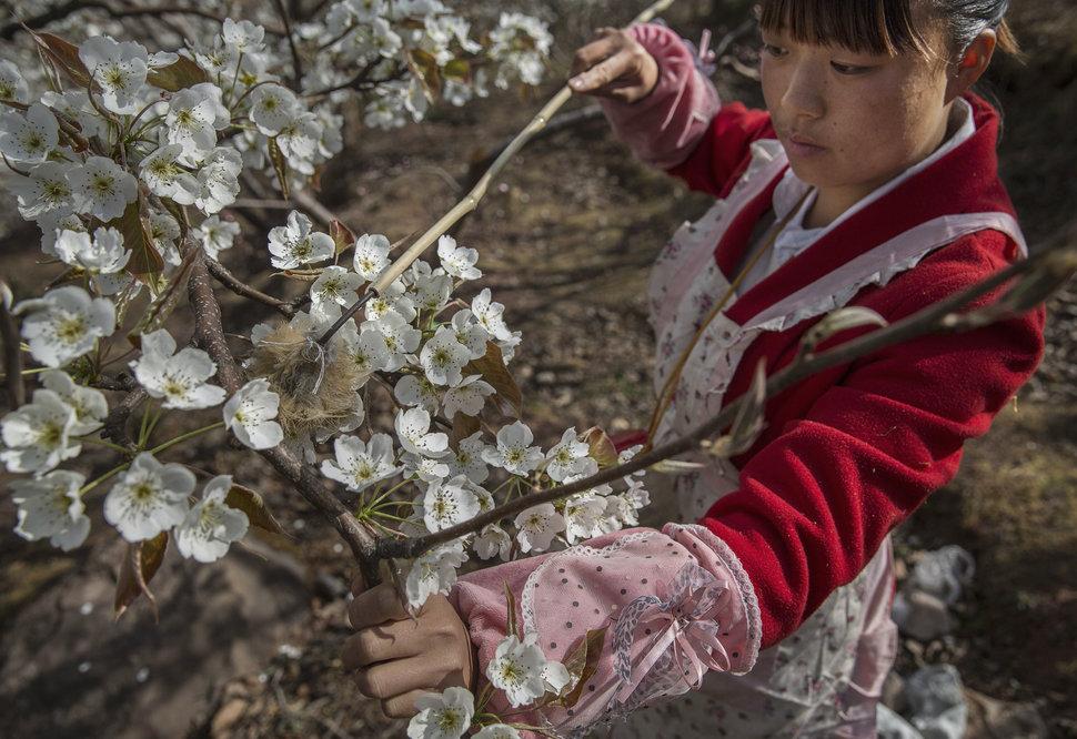 Ouvrier chinois pollinisant à la main des arbres fruitiers