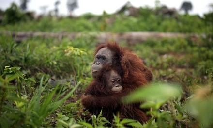 Orangs‐outans : pourquoi ne pas acheter de l'huile de palme industrielle
