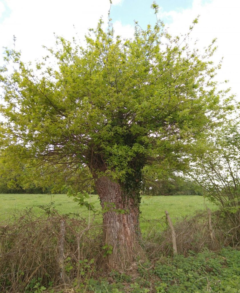 An overpruned oak springs back to life