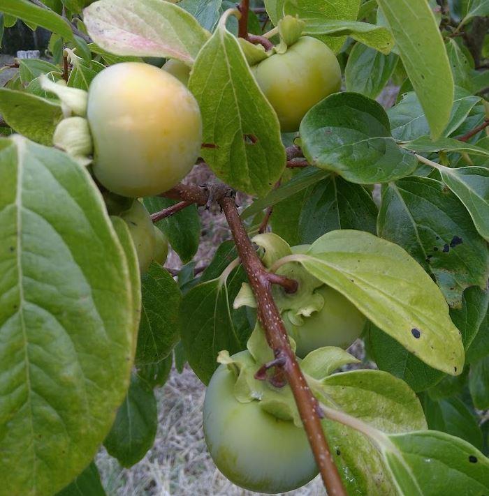 Kaki fruit tree at our farm