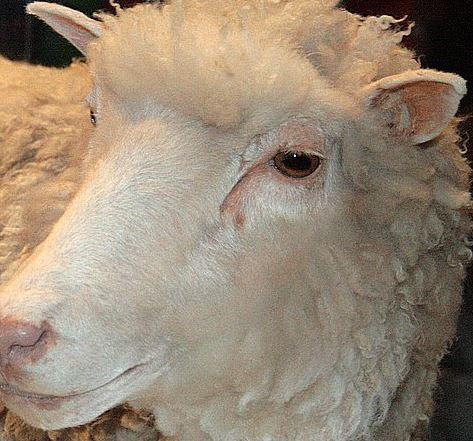 Dolly cloned sheep, cropped from pic Tony Barros, Sao Paulo, Brazil