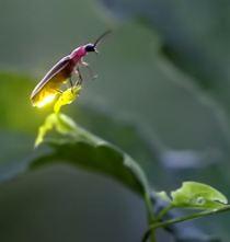 firefly wizard
