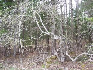 Pruning old apple tree