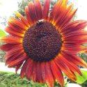 sunflower-sq-left