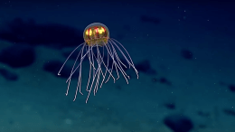 NOAA researchers captured a new jellyfish