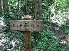 Big Poplars on Caldwell Fork