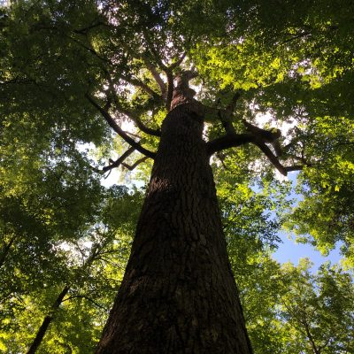 A Big Poplar