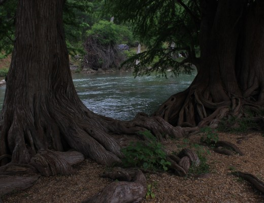 trees, tree branches, tree roots, tree near river,