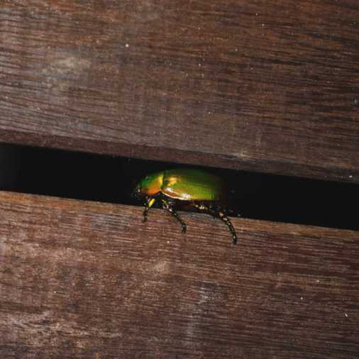 Exploring Borneo Island Guide Green Beetle