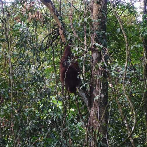 Exploring Borneo Island orangutan hanging from tree