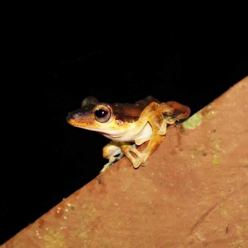 Frog Borneo Rainforest Lodge