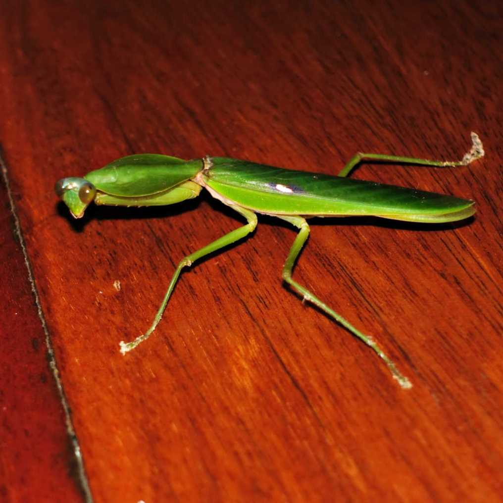 Praying Mantis Borneo Sabah