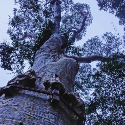 Tall trees Borneo Rainforest Lodge