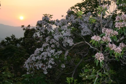 Mountain Laurel in May