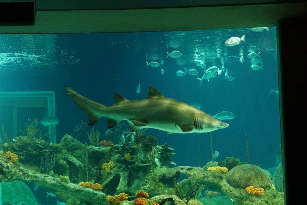 One of the reasons to visit the OdySea Aquarium is the OdySea Voyager.