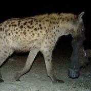 Hyena Copyright Lindsey Rich and Panthera