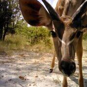 Greater kudu Copyright Lindsey Rich and Panthera