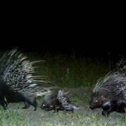 Porcupine Copyright Lindsey Rich and Panthera