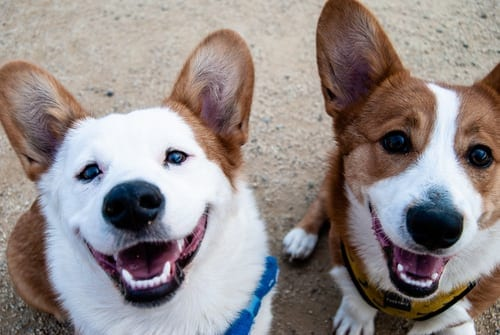 two dogs looking up at the camera and smiling. They look happy. Brown and white fur.