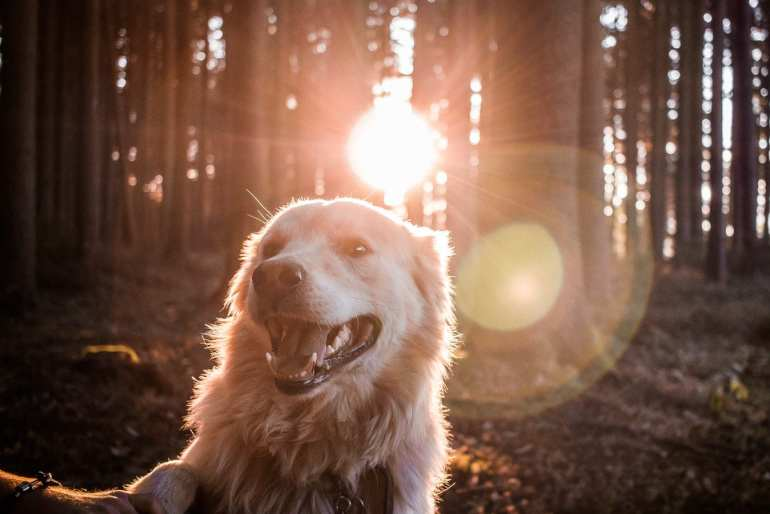 golden retriever dog after been giving CBD sitting in the forest with the sun in the background.