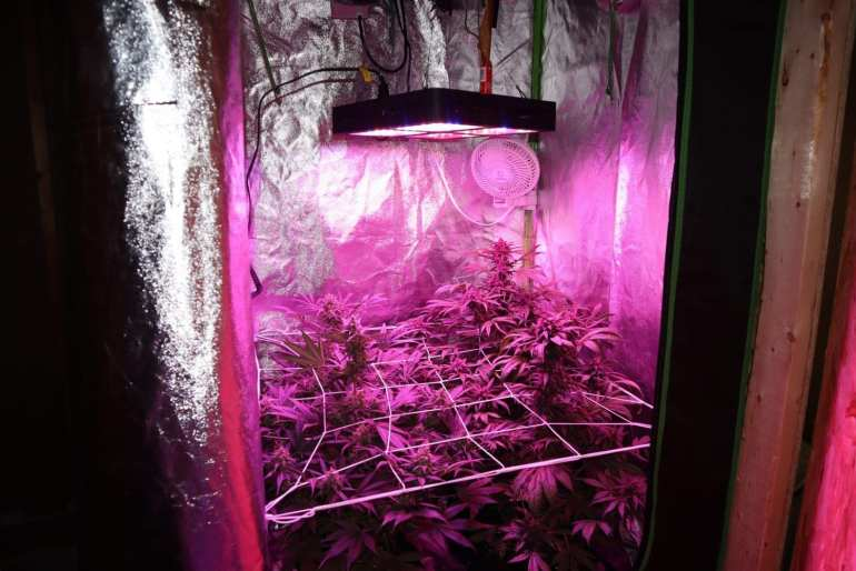 Indoor Grow Tent Setup with four cannabis autoflowering plants growing. The LED grow light hangs above the four plants.