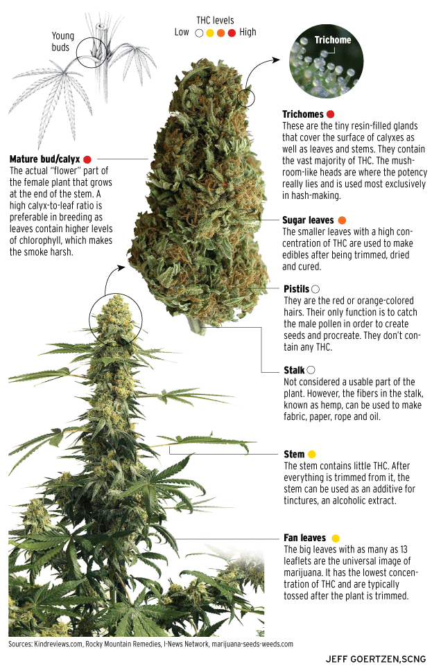 Infographic: The anatomy of a marijuana plant - The Cannifornian