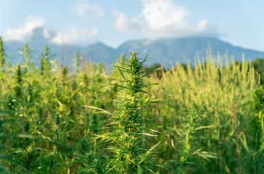 Improving Hemp Harvest