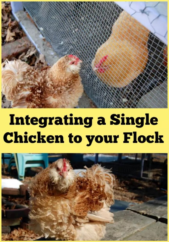 Want to add a new chicken to your flock? Check out my tips for adding a single hen to your flock!