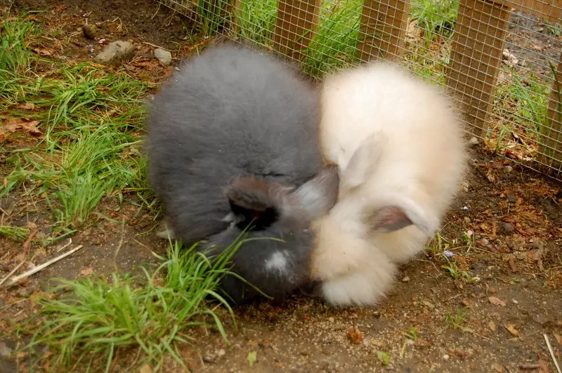 how much does it cost to raise angora rabbits