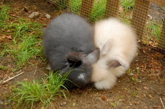 How much does it cost to raise Angora rabbits?