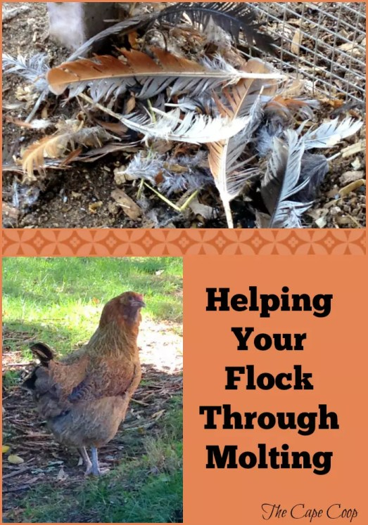 Find out what you can do to help your flock through molting season