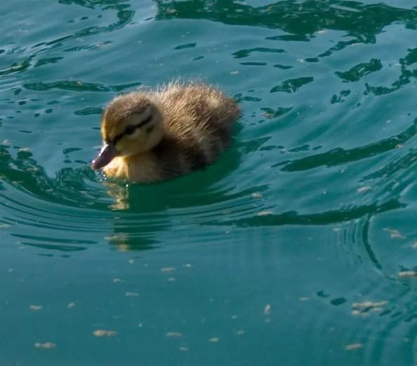 Backyard Ducks for Absolute Beginners