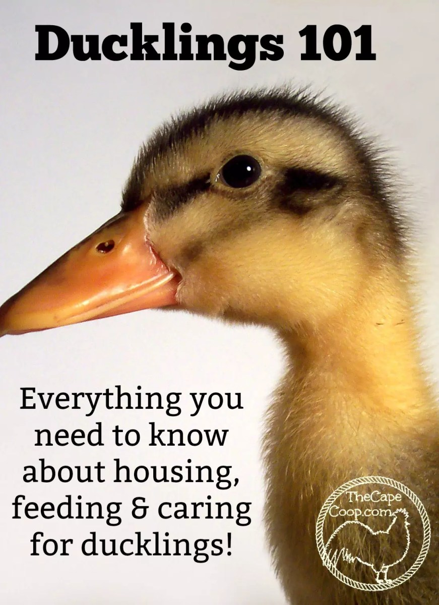 Ducklings 101