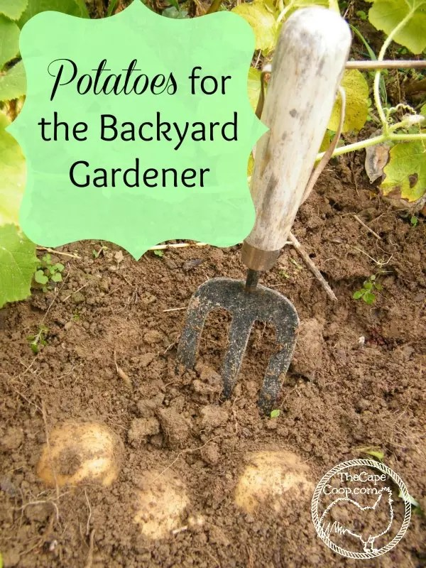 Potatoes For The Backyard Gardener The Cape Coop