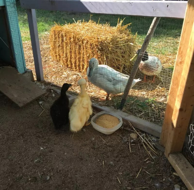 Adding New Ducklings to Your Flock - The Cape Coop