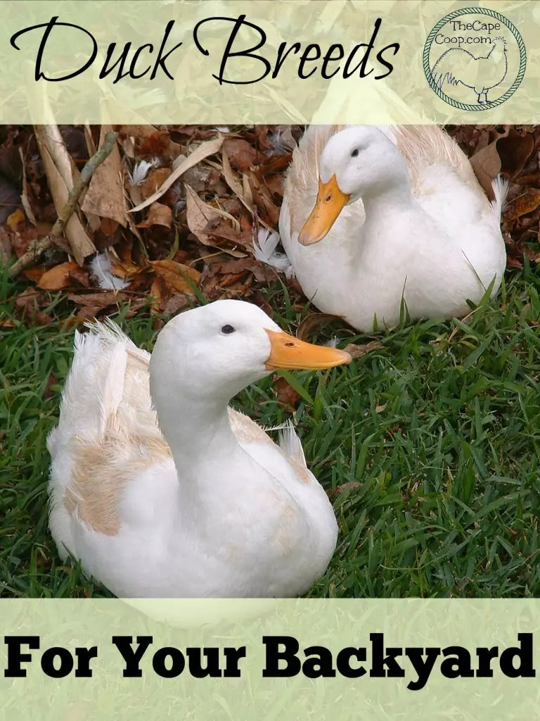 Great Backyard Duck Breeds - The Cape Coop