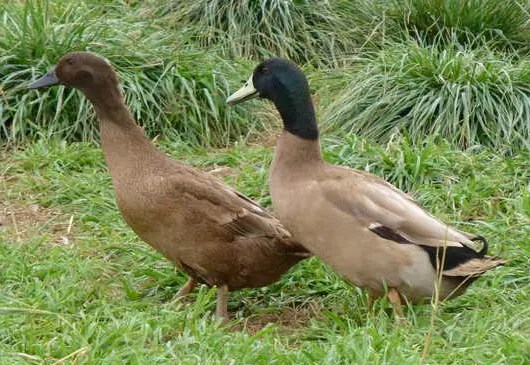 Crested Cayuga Duck