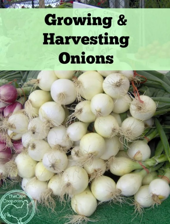 Growing & Harvesting Onions - The Cape Coop