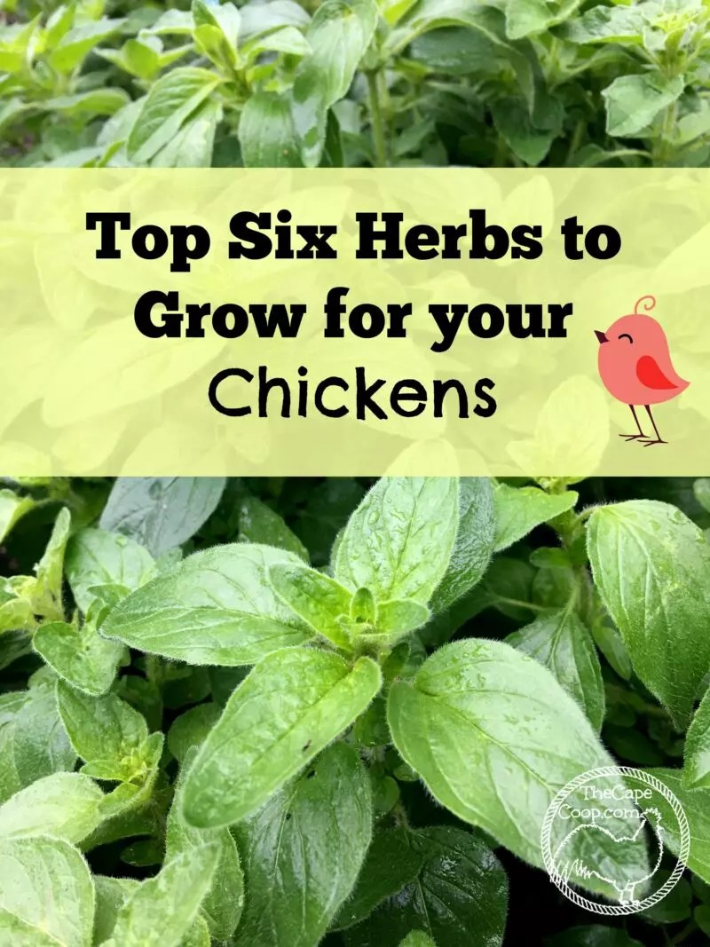 Top Six Herbs to Grow for Chickens