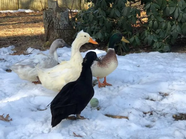 6 ways to keep your chicken & duck water from freezing this winter