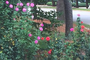 Rose gardening tips – joyful fall bloom September