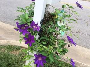 garden-clematis
