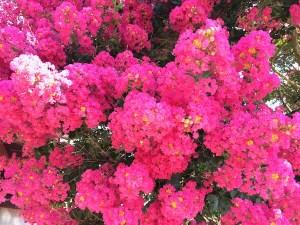 garden-crepe-myrtle